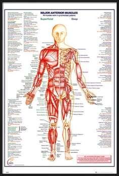 Zarámovaný plagát Human Body - Major Anterior Muscles