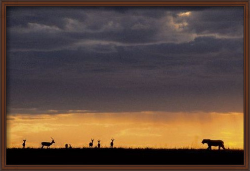 Plagát  Lioness hunting